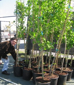 Dr. Hal Paez of Rockaway Civic Association with gingko trees.