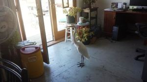 Egret in Broad Channel home, summer 2014.