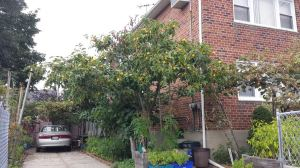 Peach tree, Ozone Park, summer 2014